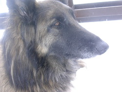 Velane, chien Berger belge