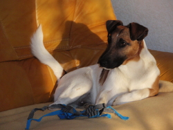Velours, chien Fox-Terrier