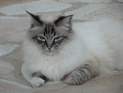 Velours, chat Birman