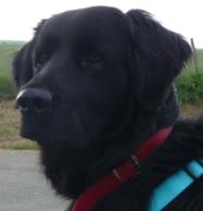 Zouzou, chien Flat-Coated Retriever