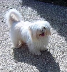 Vender, chien Lhassa Apso