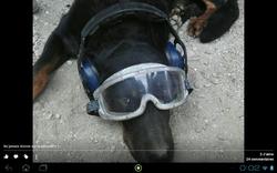 Venom, chien Beauceron