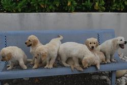 Endgie Et Ses Bébés, chien Golden Retriever