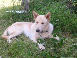 Vento, chien Berger blanc suisse