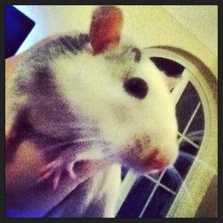 Vénus, rongeur Rat