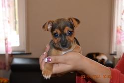 Venus, chien Jack Russell Terrier