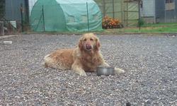 Vénus , chien Golden Retriever
