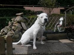 Vénus, chien Dogue argentin