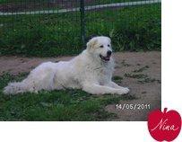 Venus, chien Chien de montagne des Pyrénées