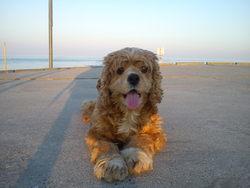 Vénus, chien Cocker américain