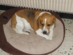 Venus, chien Beagle