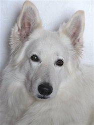 Vénus, chien Berger blanc suisse