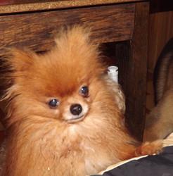 Vénus De Milo, chien Spitz allemand
