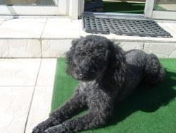 Venzo, chien Caniche