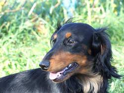 Velours, chien Teckel