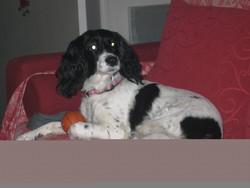 Vera, chien Cocker anglais