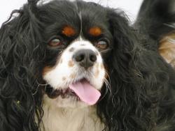 Verdi, chien Cavalier King Charles Spaniel