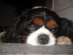 Verdi , chien Cavalier King Charles Spaniel