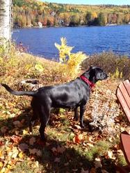 Verlaine, chien Labrador Retriever