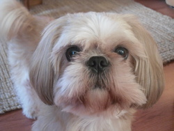 Verlaine, chien Shih Tzu