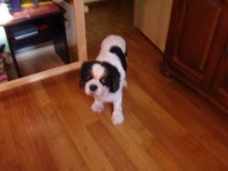 Verlaine, chien Cavalier King Charles Spaniel