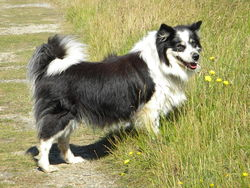 Verone, chien Chien finnois de Laponie