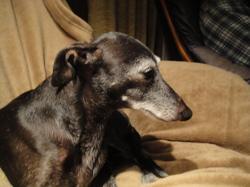 Vérone, chien Petit Lévrier italien