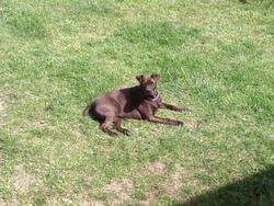 Viana, chien