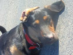 Vic, chien Beauceron