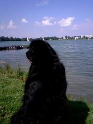 Vic, chien Terre-Neuve