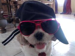 Vicenzo, chien Shih Tzu