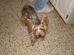 Vichy , chien Yorkshire Terrier