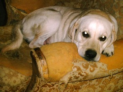 Vick, chien Labrador Retriever