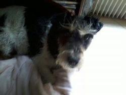 Vick, chien Fox-Terrier