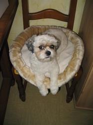 Vick, chien Shih Tzu