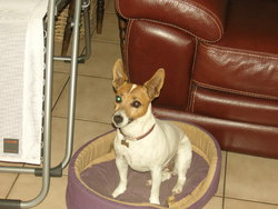Vickie, chien Jack Russell Terrier