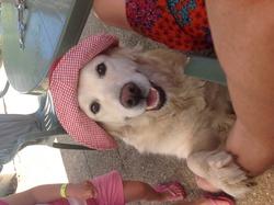 Vickie, chien Golden Retriever