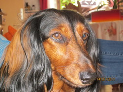Vickie, chien Teckel