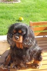 Vickie, chien Cavalier King Charles Spaniel