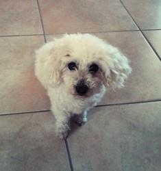 Vickie, chien Bichon à poil frisé