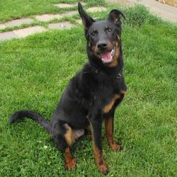 Vicking, chien Beauceron