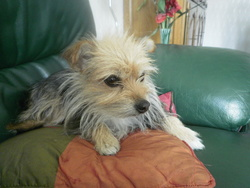 Vicky, chien Yorkshire Terrier