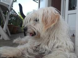 Vicky, chien Bichon maltais