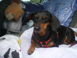 Vicky, chien Teckel