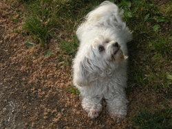 Vicky, chien Bichon à poil frisé