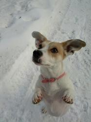 Vicky, chien Jack Russell Terrier