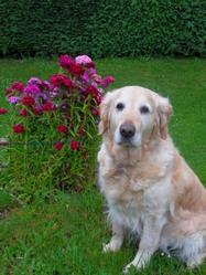 Vicky, chien Golden Retriever