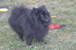 Vicky, chien Spitz allemand