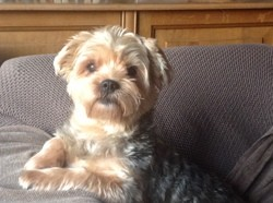 Vicky, chien Schnauzer