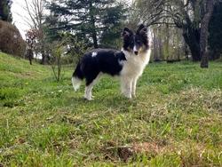 Vicky, chien Berger des Shetland